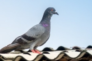 Pigeon Control, Pest Control in Hornchurch, RM11, RM12. Call Now 020 8166 9746